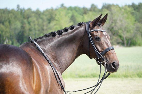 Nova Equestrian Dressage Horse Sale Calisto