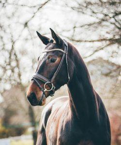 Nova Equestrian Dressage Horse Sale Kasztan 2