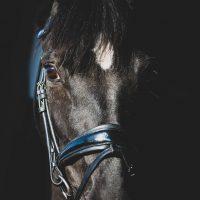 Nova Equestrian Dressage Horse Sale Novas Fürstin Aurora 1