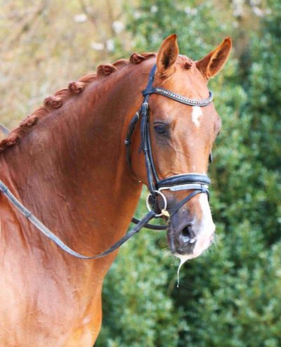 Nova-Equestrian-Dressage-Horse-Sale-VivaPro_01