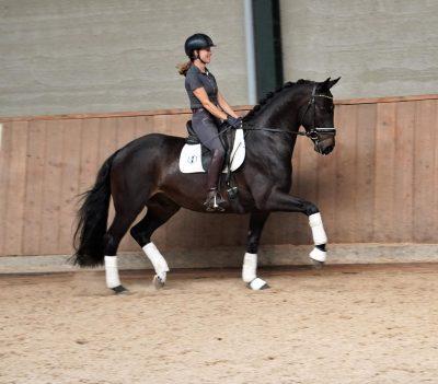 Nova-Equestrian-Showjumping-Horse-Sale-Q_William_01