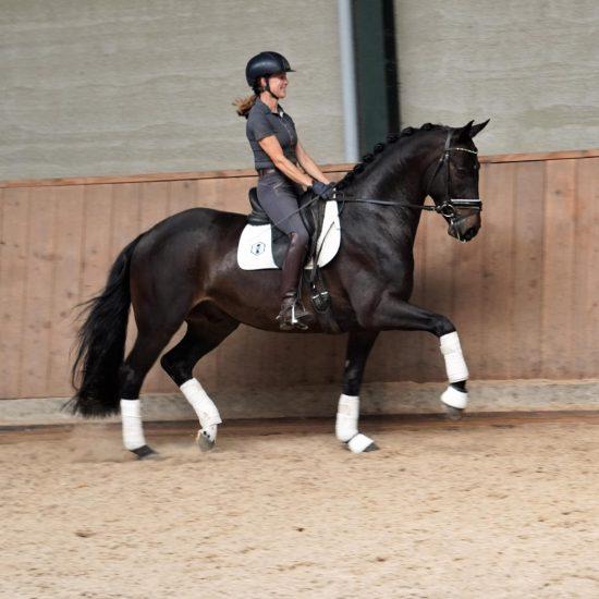 Nova-Equestrian-Showjumping-Horse-Sale-Q_William_01_sq